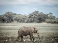Lone elephant