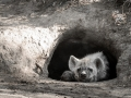 Spotted hyena cub in den