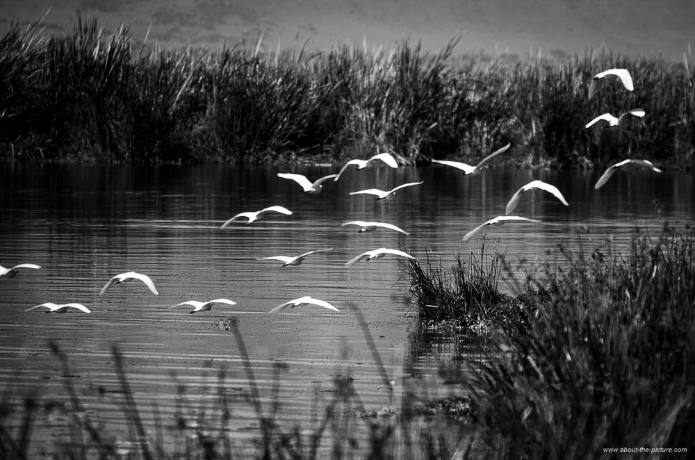 Cattle egrets flying to shore