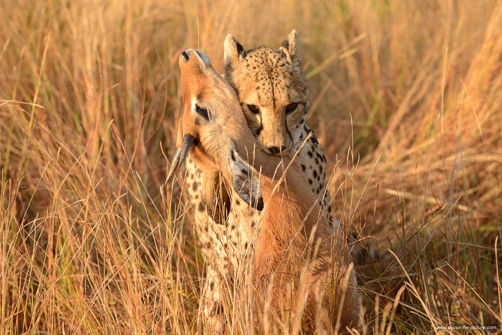 Cheetah with still-dying impala