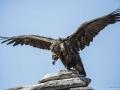 Black vulture down
