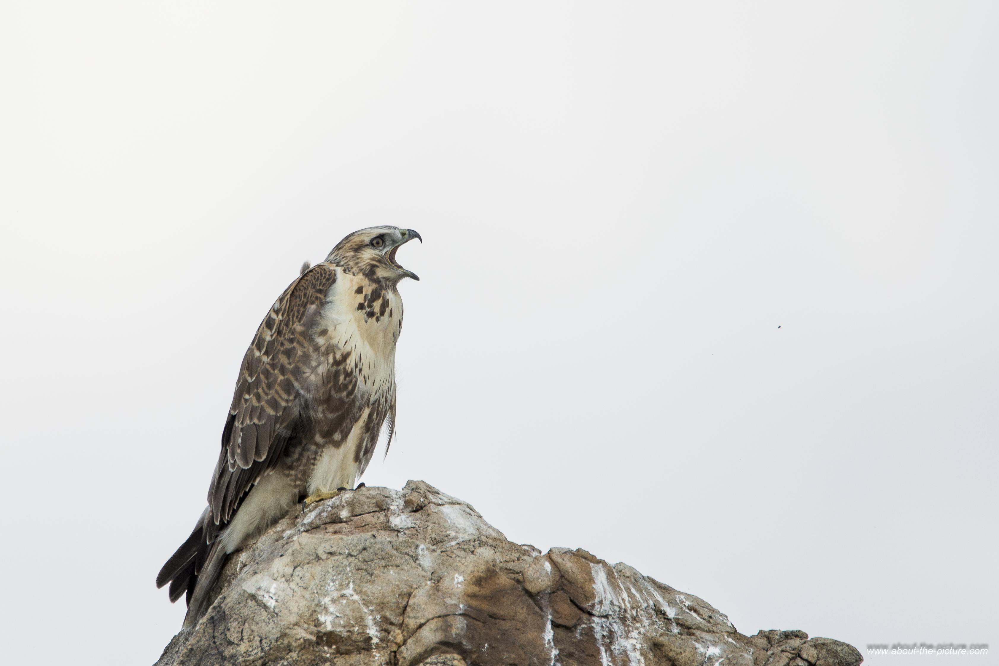 Upland buzzard
