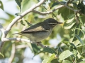 Pallas' leaf-warbler