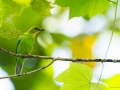 Yellow-throated Leafbird